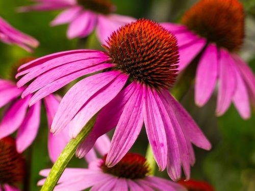 7 Benefici dell'Echinacea: come aumentare le difese immunitarie